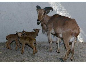 Afrika Yeleli Koyun Üçüz Yavruladı
