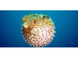 'Balon Balığı' Aqua Veda'da meraklılarını bekliyor
