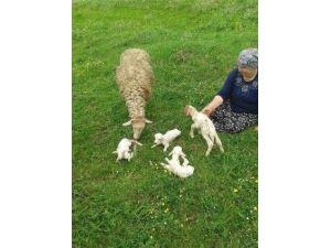 Sakarya'da Bir Koyun Dördüz Doğurdu