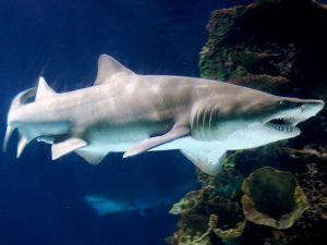 Kaplan Kum Köpek Balığının Boyu 2,5 Metreye Ulaştı