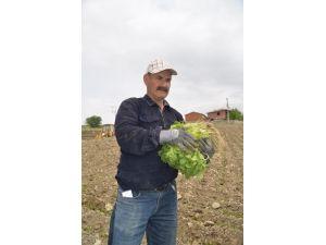 Selendili Çiftçiler Tütün Ekimlerine Başladı