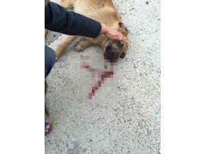 Sahipsiz Köpek, Duyarlı Kadın Sürücü Sayesinde Hayata Tutundu