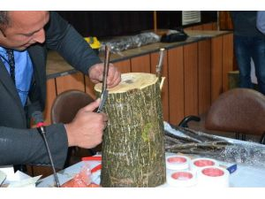 Terme'de Yabani Cevizler Kültüre Alınıyor