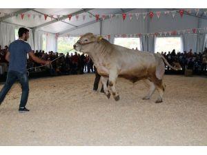 Hayvancılığın Düğünü Başlıyor