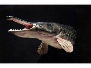 Timsah Balığına Büyük İlgi