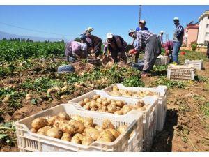 Ödemiş'te Yılın İlk Patates Hasadı Yapıldı