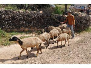 15 Günde 250 Koyunu Telef Olan Köylüler Çare İstiyor