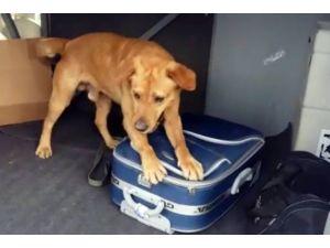 Narkotik Köpekleri 15 Kilo Esrar Buldu