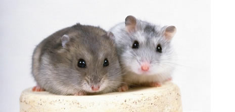 İngiltere'de dev fareler şehri işgal etti