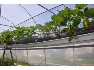 Sinop'ta topraksız çilek üretiminde yüzde 100 başarı