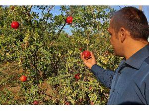 Geleneksel metotla organik nar pekmezi üretiyor