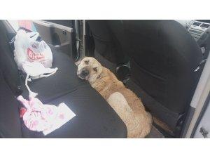 Otomobile giren inatçı sokak köpeğini çıkarmak kolay olmadı