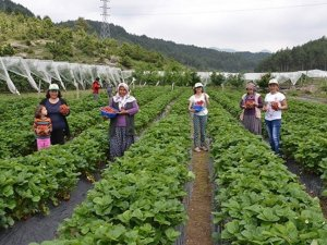 Bursa'da çiftçiye 3 milyon adet çilek fidesi