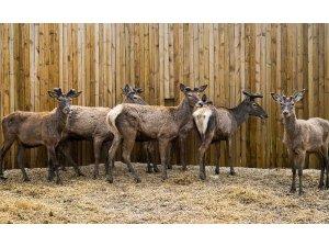 Bilecik'te 5 kızıl geyik doğaya salındı