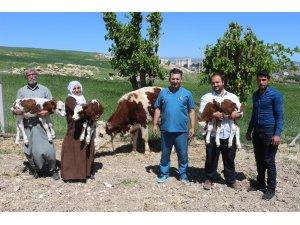 Suni tohumlamayla üçüz doğuran inek sahiplerini sevindirdi