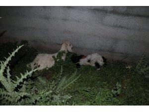 Sokak köpekleri saldırdı 3 oğlak telef oldu