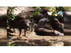 Site bahçesine giren domuzlar vatandaşları tedirgin etti