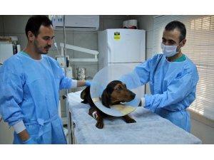 Ameliyatla hayata tutunan sevimli av köpeği sahibini bekliyor