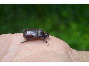 Dünyanın en güçlü böceği Çemişgezek'te görüntülendi