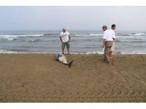 Pamucak sahilinde ölü yunus bulundu
