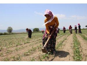 Aydınlı kadınların 45 derece sıcakta ekmek parası mücadelesi