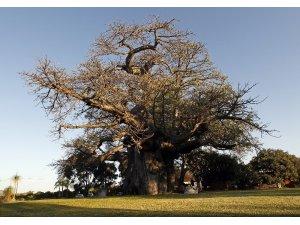 Afrika'da birkaç bin yaşındaki 13 ağacın 9'u yok oldu