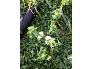 Amasya'da ekili tarlaları dolu vurdu