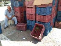 Hisarcık'ta vişne alımlarına 7 yıl önceki fiyatlardan başlandı
