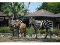 - Bursa'da bir haftalık zebra yavrusu ilgi çekiyor
