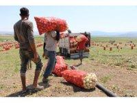 Soğan fiyatı Amasya'da tarlada 2-2,5 TL arasında