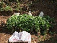 Bingöl'de bin 100 kök kenevir bitkisi imha edildi
