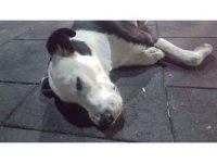 Nevşehir'in Gülşehir ilçesinde 3 köpeğin belediye görevlilerince öldürüldüğü iddiası