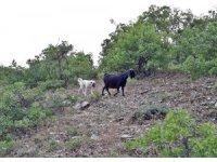 Yavru kangal, kaybolan keçileri bulup sahibine teslim etti
