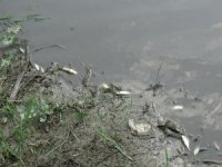 Domaniç Güney Deresi'nde esrarengiz balık ölümleri korkuttu