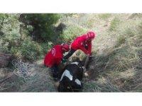 Çukura düşen inek 3 saatte kurtarıldı