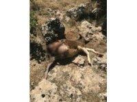 Sırtlanın saldırısına uğradığı iddia edilen dana öldü