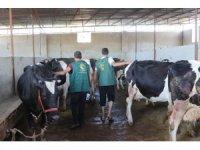 Suriyeli ailelere inek ve koyun desteği