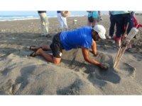 Hatay'da yavru caretta carettalar denizle buluştu