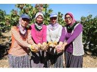 Mersin'de Antepfıstığı hasadı yüzleri güldürüyor