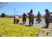Manisa'nın kuru üzümü Çin pazarı yolunda