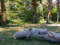 Ağaçları çıra için katlettiler