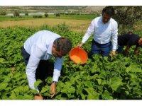 Burdur İnsuyu'nda fasulye hasadı devam ediyor