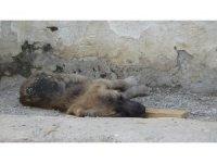 Zifte düşen köpekler hayvanseverler tarafından kurtarıldı