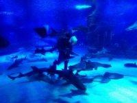 Kum Kaplanı Köpek Balıkları'nın beslenme saatine yoğun ilgi
