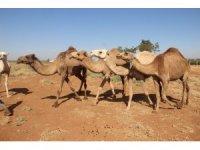 Şanlıurfa'da yetiştirilen kurbanlık develer alıcılarını bekliyor