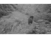 Düzce'de orman canlıları foto kapana takıldı