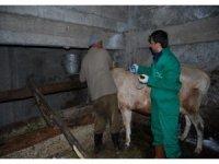 Trabzon'da şap hastalığına karşı 132 bin 576 büyükbaş hayvan aşılanacak