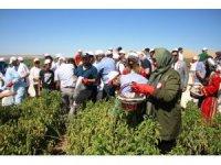 Belediye başkanları Şanlıurfa'da isot hasadına katıldı