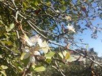 Elma ağaçları sonbaharda çiçek açtı