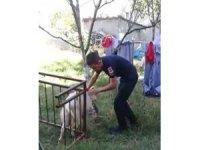 Balkon demirlerine sıkışan keçiyi itfaiye kurtardı